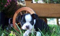 Boston Terrier Puppies for sale in Texarkana, TX, USA. price: NA