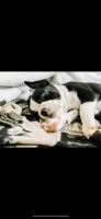 Boston Terrier Puppies for sale in Redlands, CA, USA. price: NA