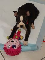 Boston Terrier Puppies for sale in Chicago, IL, USA. price: NA