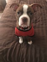 Boston Terrier Puppies for sale in Clermont, FL, USA. price: NA