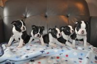Boston Terrier Puppies for sale in Wisconsin Dells, WI, USA. price: NA