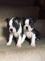 Boston Terrier Puppies for sale in Arizona City, AZ 85123, USA. price: NA