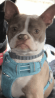 Boston Terrier Puppies for sale in Morgantown, WV, USA. price: NA