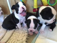 Boston Terrier Puppies for sale in San Jose, CA 95131, USA. price: NA
