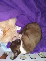 Boston Terrier Puppies for sale in Carrollton, TX 75006, USA. price: NA