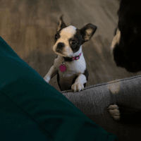 Boston Terrier Puppies for sale in Phoenix, AZ, USA. price: NA