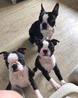 Boston Terrier Puppies for sale in Oklahoma City, OK, USA. price: NA
