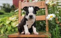 Boston Terrier Puppies for sale in Reston, VA, USA. price: NA