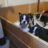 Boston Terrier Puppies for sale in Los Angeles, CA, USA. price: NA