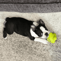 Boston Terrier Puppies for sale in Portland, OR, USA. price: NA