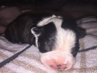 Boston Terrier Puppies for sale in New Britain, CT, USA. price: NA