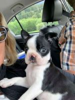 Boston Terrier Puppies for sale in Albuquerque, NM, USA. price: NA