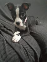 Boston Terrier Puppies for sale in North Charleston, SC, USA. price: NA