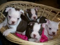 Boston Terrier Puppies for sale in Springfield, OH 45505, USA. price: NA