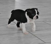 Boston Terrier Puppies for sale in New Haven, CT, USA. price: NA