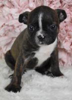 Boston Terrier Puppies for sale in Honolulu, HI, USA. price: NA