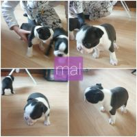 Boston Terrier Puppies for sale in Augusta, GA, USA. price: NA