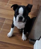 Boston Terrier Puppies for sale in New York, NY, USA. price: NA
