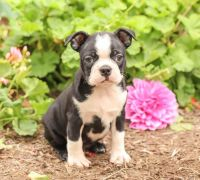 Boston Terrier Puppies for sale in Seattle, WA, USA. price: NA