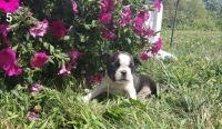 Boston Terrier Puppies for sale in Indianapolis, IN, USA. price: NA