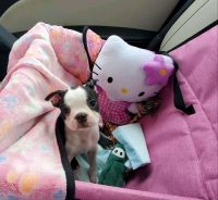 Boston Terrier Puppies for sale in Anaheim, CA, USA. price: NA