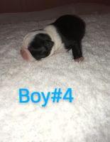 Boston Terrier Puppies for sale in Corryton, TN 37721, USA. price: NA
