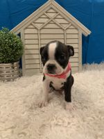 Boston Terrier Puppies for sale in Whittier, CA 90602, USA. price: NA