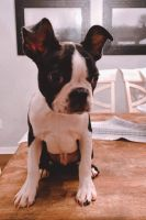 Boston Terrier Puppies for sale in Zebulon, NC 27597, USA. price: NA