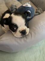 Boston Terrier Puppies for sale in Dallas, TX, USA. price: NA