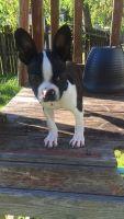 Boston Terrier Puppies for sale in 1203 Coteau Rd, Houma, LA 70364, USA. price: NA