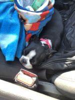 Boston Terrier Puppies for sale in Marietta, GA, USA. price: NA
