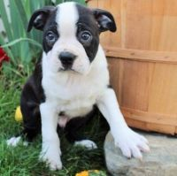 Boston Terrier Puppies for sale in Harrisburg, PA, USA. price: NA