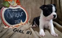Boston Terrier Puppies for sale in Athens, OH 45701, USA. price: NA