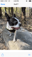 Boston Terrier Puppies for sale in New Port Richey, FL, USA. price: NA