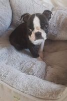 Boston Terrier Puppies for sale in Anchorage, AK, USA. price: NA