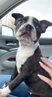 Boston Terrier Puppies for sale in Denver, CO 80216, USA. price: NA