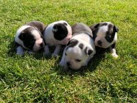 Boston Terrier Puppies for sale in East Rutherford Borough, NJ, USA. price: NA