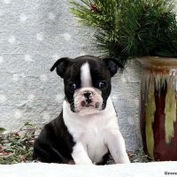 Boston Terrier Puppies for sale in Juneau, WI 53039, USA. price: NA
