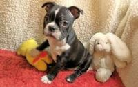 Boston Terrier Puppies for sale in Arionne Dr, Hatboro, PA 19040, USA. price: NA