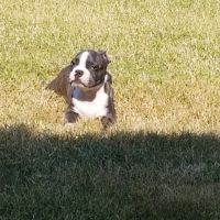 Boston Terrier Puppies for sale in Celina, TX, USA. price: NA