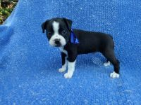 Boston Terrier Puppies for sale in La Habra Heights, CA, USA. price: NA