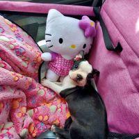 Boston Terrier Puppies for sale in Sacramento, CA, USA. price: NA