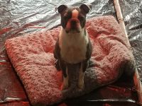 Boston Terrier Puppies for sale in Front Royal, VA 22630, USA. price: NA