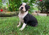 Boston Terrier Puppies for sale in Newsoms, VA, USA. price: NA