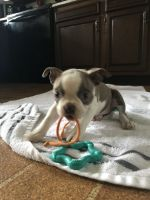 Boston Terrier Puppies for sale in Covington, IN 47932, USA. price: NA