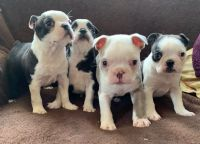 Boston Terrier Puppies for sale in Des Plaines, IL 60018, USA. price: NA