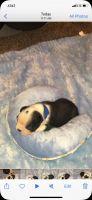 Boston Terrier Puppies for sale in Mountain View, OK 73062, USA. price: NA