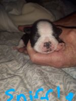 Boston Terrier Puppies for sale in 4867 Chisholm Trail, Weatherford, TX 76087, USA. price: NA