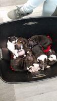 Boston Terrier Puppies for sale in Bellaire, OH 43906, USA. price: NA