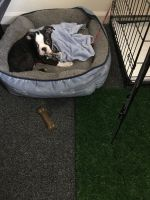 Boston Terrier Puppies for sale in Asheboro, NC, USA. price: NA